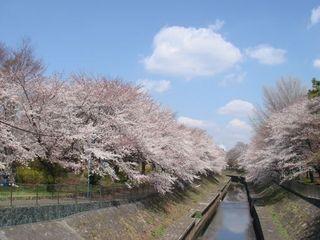 善福寺公園 桜